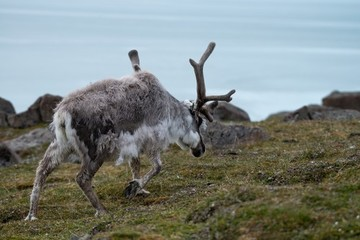 Reindeer-at-Kapp-Lee-Svalbard-HGR-123529 500