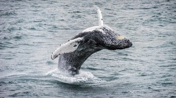 Humpback-whale-Iceland-HGR-115656 500